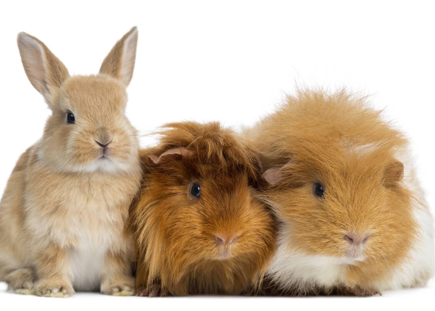 Endoscopen konijn en knaagdieren